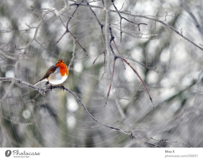 Birdie with scarf Winter Tree Bushes Forest Animal 1 Small Red Branch Twigs and branches Robin redbreast Colour photo Multicoloured Exterior shot Deserted
