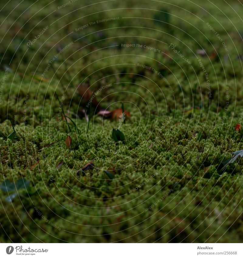 Nothing without Moss going on Environment Nature Plant Carpet of moss Leaf Blade of grass Meadow Growth Natural Brown Green Calm Colour photo Exterior shot Day