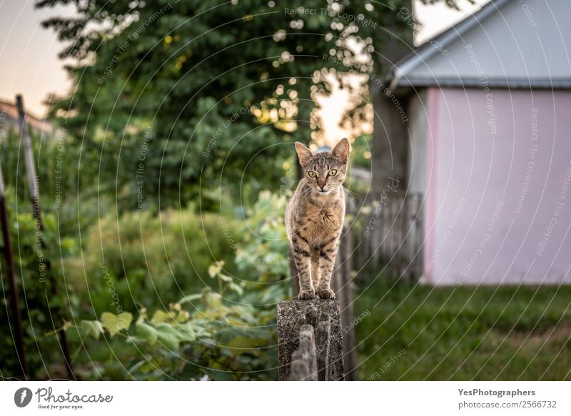 Curious domestic cat walking on a wooden fence in the backyard Cat Nature Animal Garden Action Friendliness Curiosity Farm Fence Pet Fragrance Balance Strange