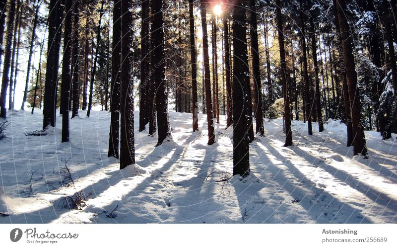 through the forest Environment Nature Landscape Plant Sun Sunlight Winter Weather Beautiful weather Ice Frost Snow Tree Forest Stand Tall Cold Back-light
