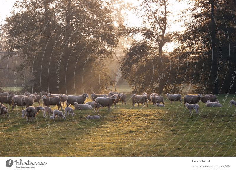 Nature Summer Landscape Baby animal Fog Many Pasture Sheep To feed Wool Lamb Herd Cattle breeding Black Forest Flock Livestock breeding