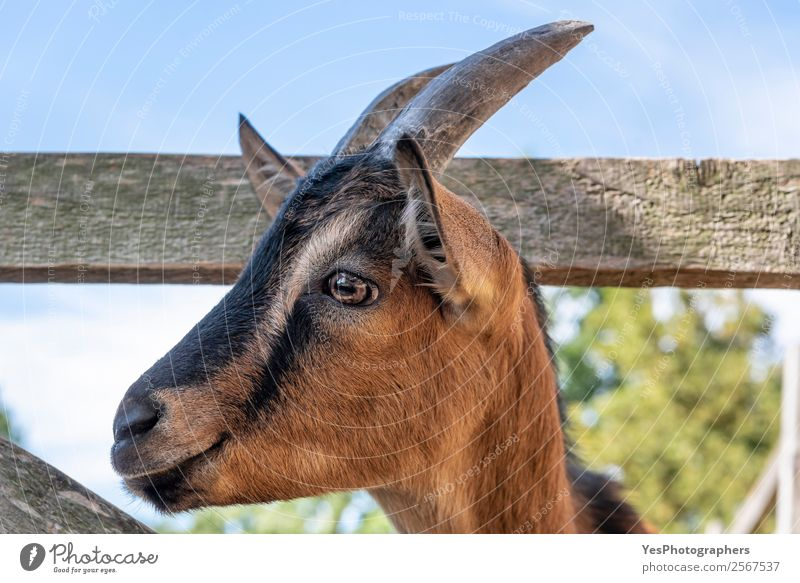 Cute goat portrait Animal Farm animal Animal face 1 Funny Brown Delightful agriculture black stripes domestic animal expressive eyes Delicate Goats horns
