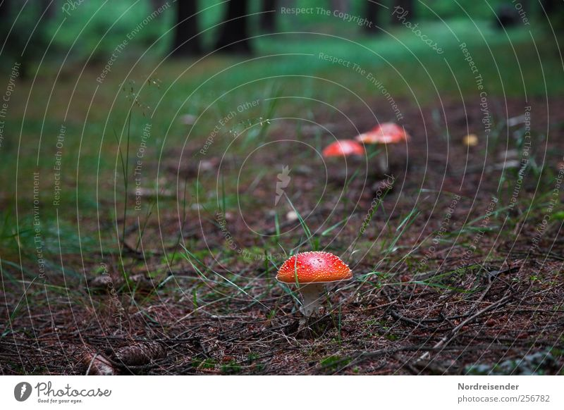 Red hats Trip Hiking Nature Plant Earth Forest Lanes & trails Discover Dark Attentive Loneliness Mushroom Amanita mushroom Poison poisonous mushroom