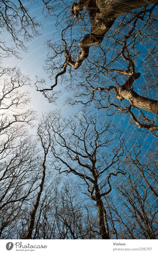 Spiekeroog. Tree crowns. Nature Plant Sky Infinity Blue Treetop Branchage Leafless Colour photo Exterior shot Deserted Wide angle