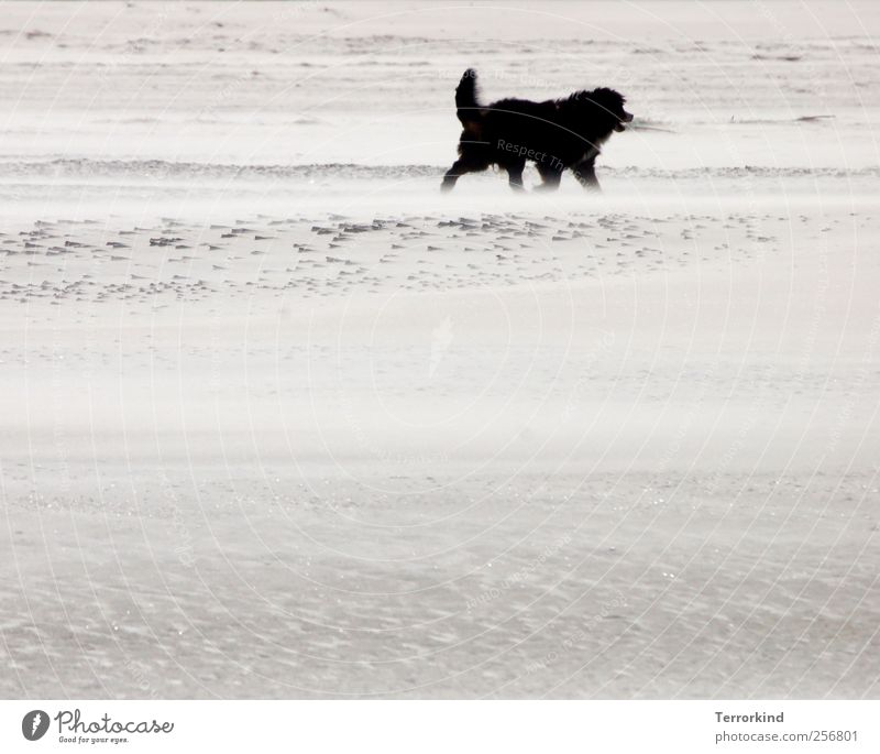 Spiekeroog black. Beach Sand Ocean Wind Blow Dog Large Black Pelt Disheveled Soft Warmth Going Walking To go for a walk Gloomy Colorless Gray Sadness Doomed