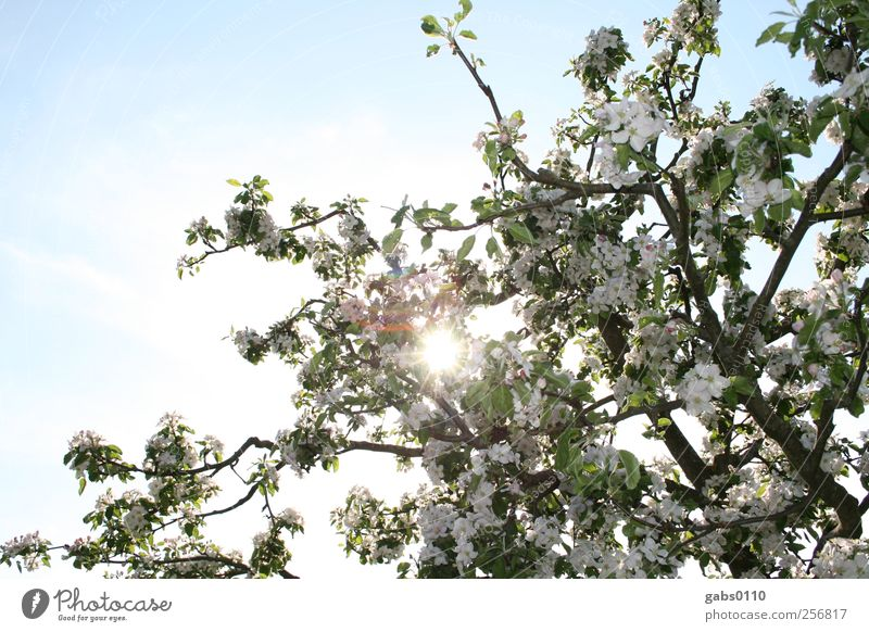 finally spring! Environment Nature Plant Sky Cloudless sky Sun Spring Tree Leaf Blossom Garden Fragrance Free Kitsch Beautiful Strong Blue Brown Green White