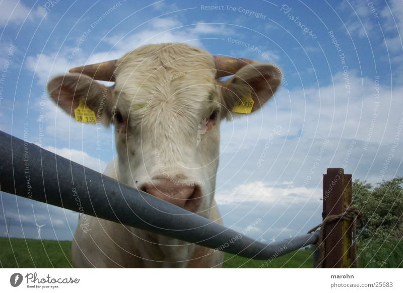 curious calf Animal Cow Curiosity Fence Bull Cattle Interest Stepladder Environment Voyeuristic Hick town Moo Nature Graffiti spontaneous image