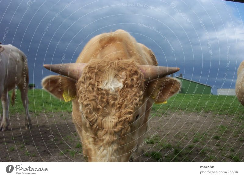 curly cow Animal Pet Cow Nature Curl Thunder and lightning Horny Farm animal Antlers
