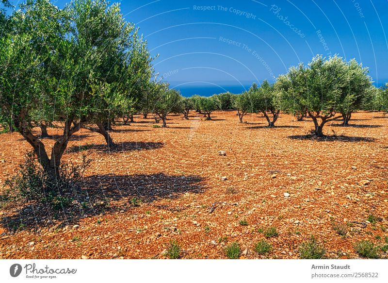 olive trees Vacation & Travel Summer vacation Environment Nature Landscape Earth Cloudless sky Climate change Beautiful weather Olive grove Ocean Gloomy Dry