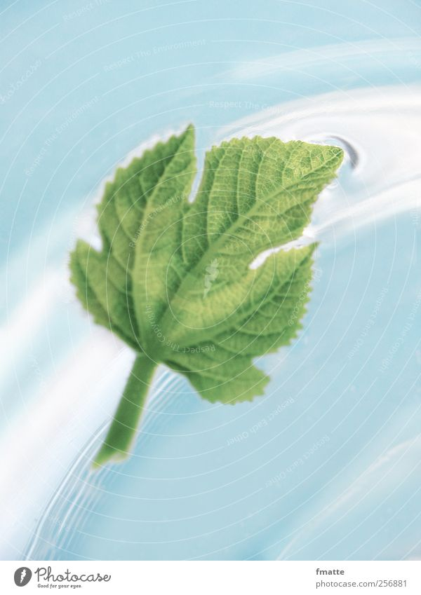 Water Blue Green Leaf Movement Float in the water Fig leaf