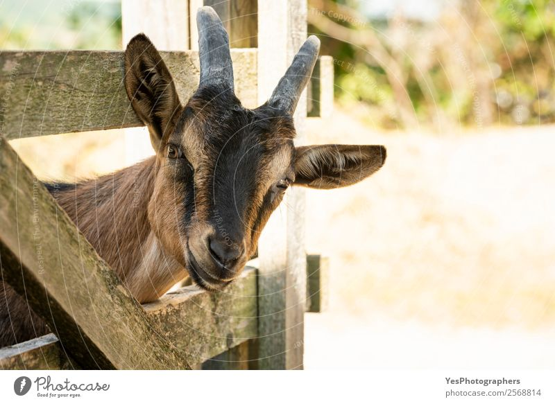 Curious young farm goat Landscape Animal Funny Brown Beautiful weather Friendliness Delicate Mammal Animal face Strange Rural Large-scale holdings Snout