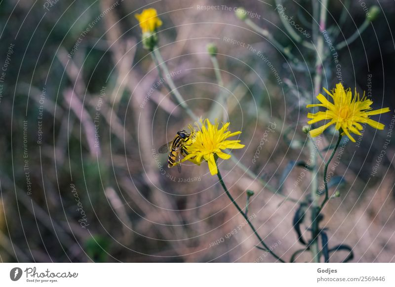 Hoverfly on blossom Nature Plant Summer Flower Grass Bushes Leaf Blossom Meadow Pippau Forest Animal Farm animal Hover fly 1 Blossoming Flying To feed Fragrance