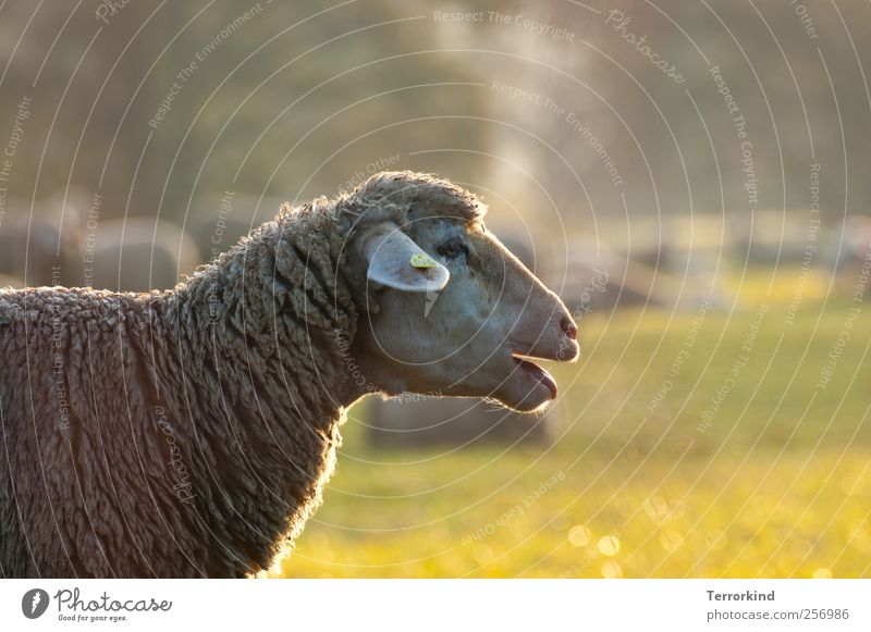 Tree Sun Summer Fog Pasture Sheep Tongue Muzzle Wool Noise Absentminded