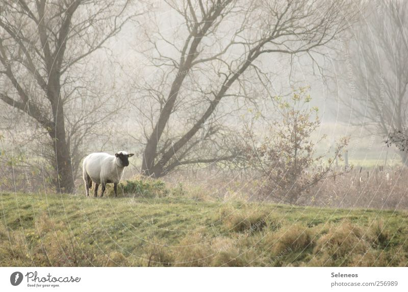 dike walk Environment Nature Landscape Plant Animal Weather Fog Tree Grass Meadow Forest Hill Farm animal Sheep 1 Cuddly Colour photo Exterior shot Deserted Day
