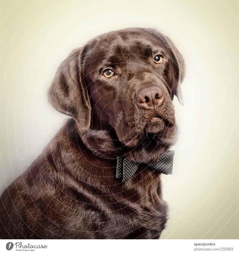 Beautiful Animal Dog Sadness Funny Brown Sit Exceptional Observe Pelt Friendliness Pet Humor Labrador Bow tie Love of animals