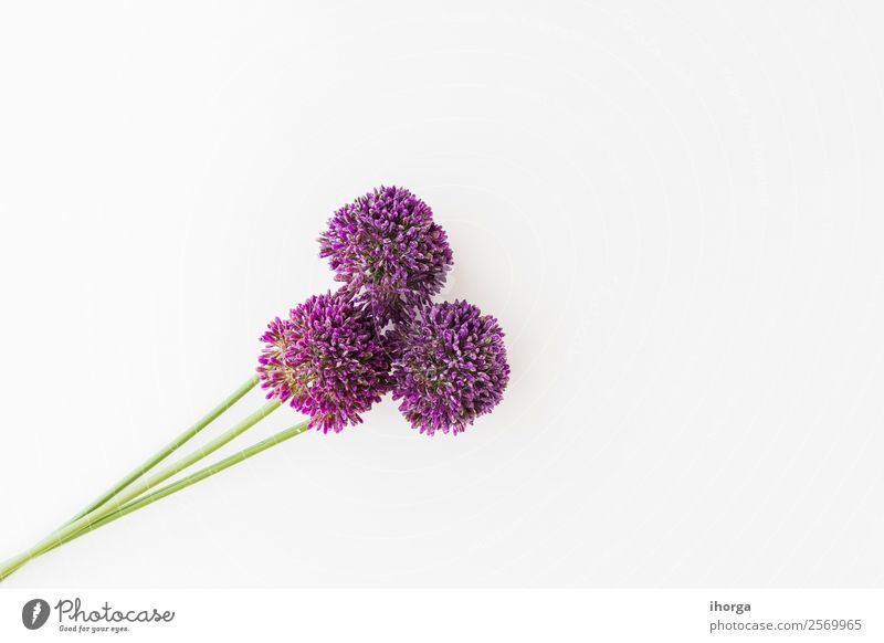 Allium isolated on white background Vegetable Herbs and spices Elegant Beautiful Summer Garden Decoration Nature Plant Flower Growth Fresh Natural White Colour