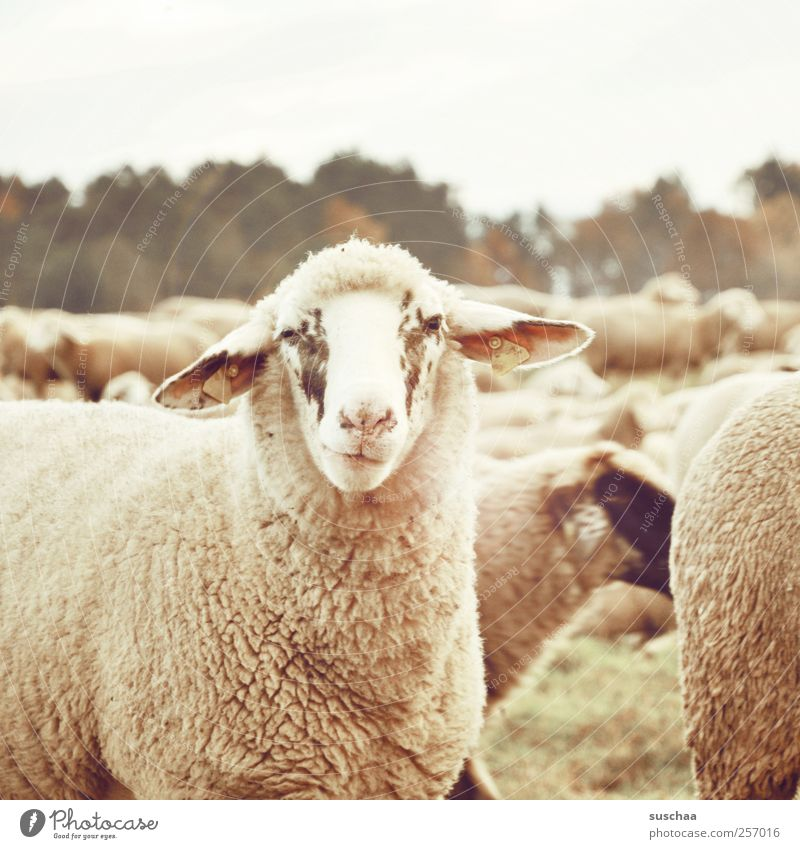 muhhhh! Environment Nature Autumn Animal Farm animal Animal face Pelt Herd Cuddly Funny Warmth Soft Love of animals Contentment Sheep Ear Face Looking Snout