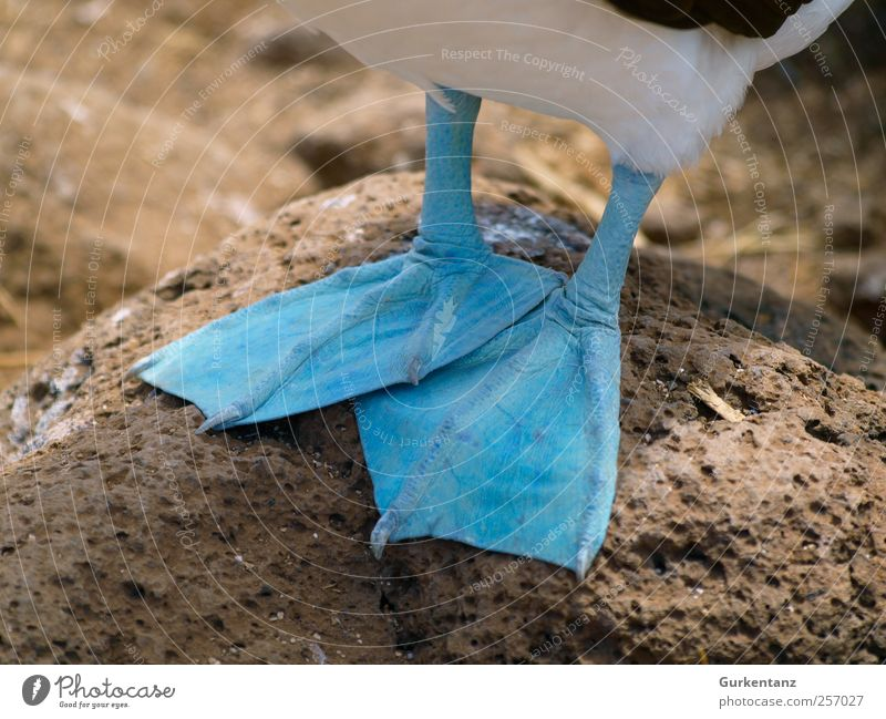 cold feet Nature Wild animal Bird Freeze Cool (slang) Cold Blue Colour Beautiful Ecuador Galapagos islands blue-footed-booby Boobies Blue-footed Booby Webbing