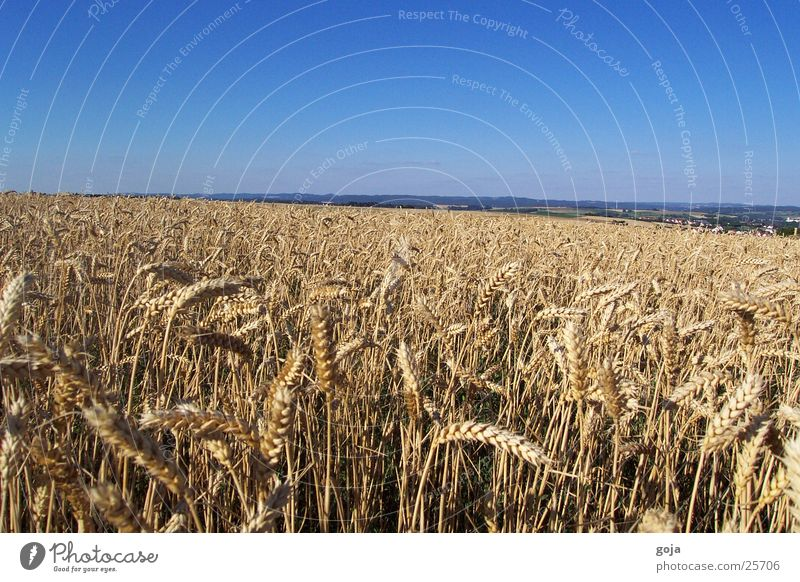 Nature Sky Summer Field Grain Wheat