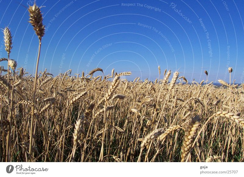 Wheat field in summer Summer Field Mountain Freedom Sun Sky