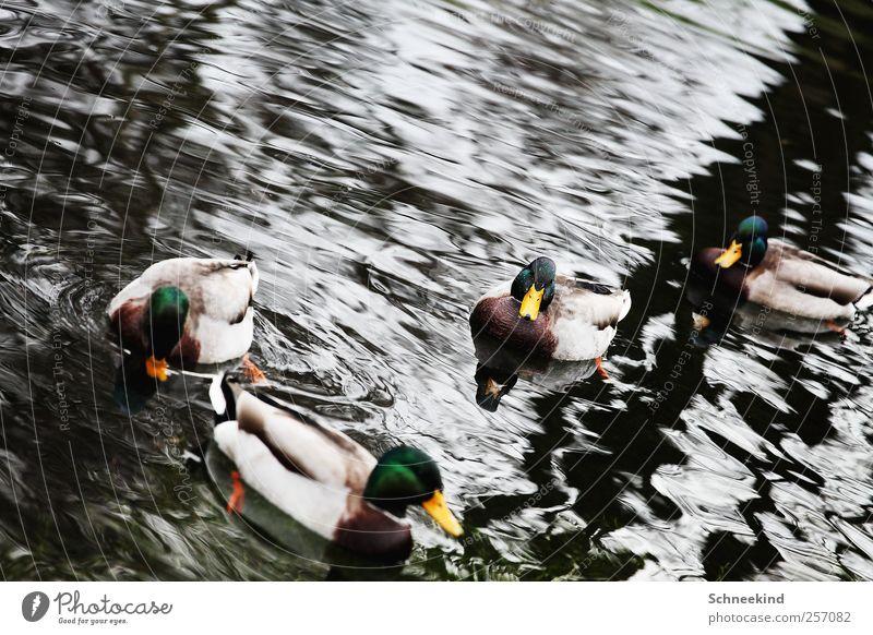 Nature Water Animal Lake Waves Swimming & Bathing Wild animal Group of animals Feather Lakeside River bank Duck Beak Pack