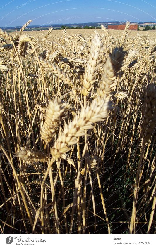 wheat field in summer Wheat Field Summer Nature Sky Grain