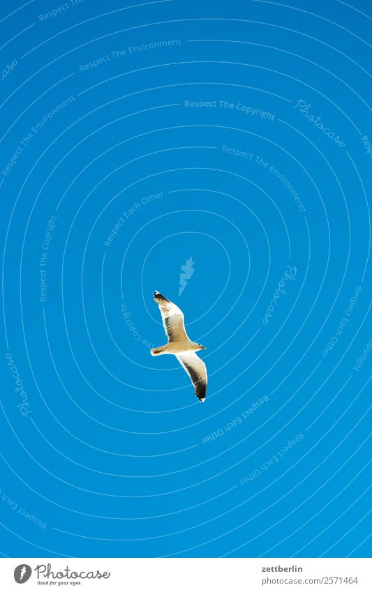 seagull Seagull Bird Sea bird Wing Flying Floating Flight of the birds Glider flight Loneliness Individual Sky Heaven Cloudless sky Blue sky Sky blue Deserted