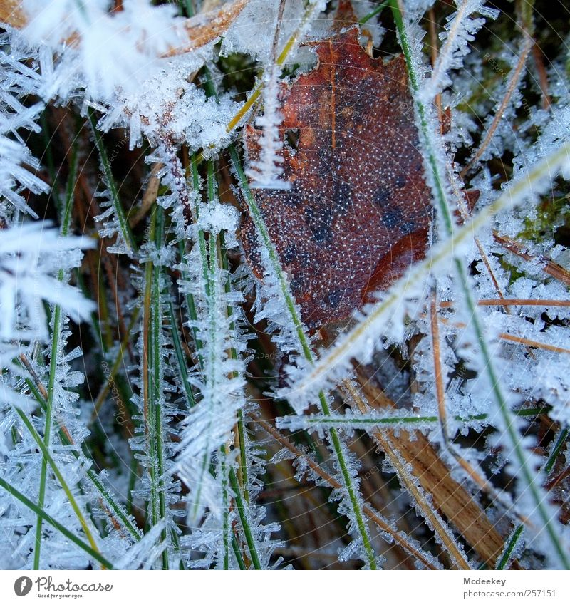 Freeze-dried Nature Plant Water Drops of water Winter Ice Frost Snow Grass Bushes Leaf Meadow Field Authentic Fresh Glittering Cold Wet Natural Point Blue Brown