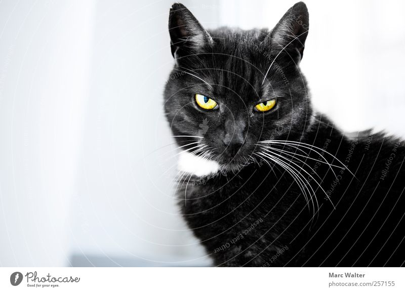 Cat Animal Black Calm Yellow Cold Contentment Exceptional Cool (slang) Threat Posture Observe Curiosity Mysterious Boredom Ask