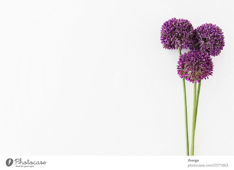 Allium isolated on white background with human hand Vegetable Herbs and spices Elegant Beautiful Summer Garden Decoration Nature Plant Flower Growth Fresh