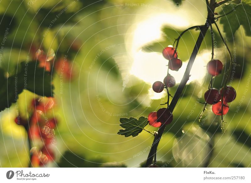 Nature Green Red Plant Summer Leaf Nutrition Environment Food Park Bright Fruit Sweet Bushes Round Beautiful weather