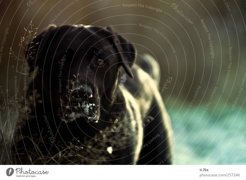 Dog Blue Animal Black Meadow Garden Free Curiosity Pelt Animal face Friendliness Pet Loyalty Labrador