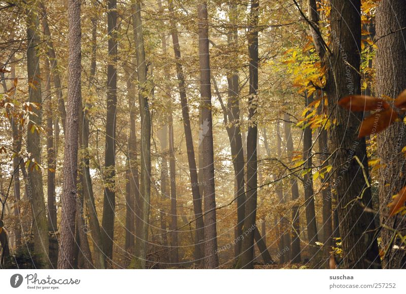 Nature Tree Leaf Calm Forest Autumn Environment Wood Brown Gold Fog Climate Change Idyll Autumn leaves