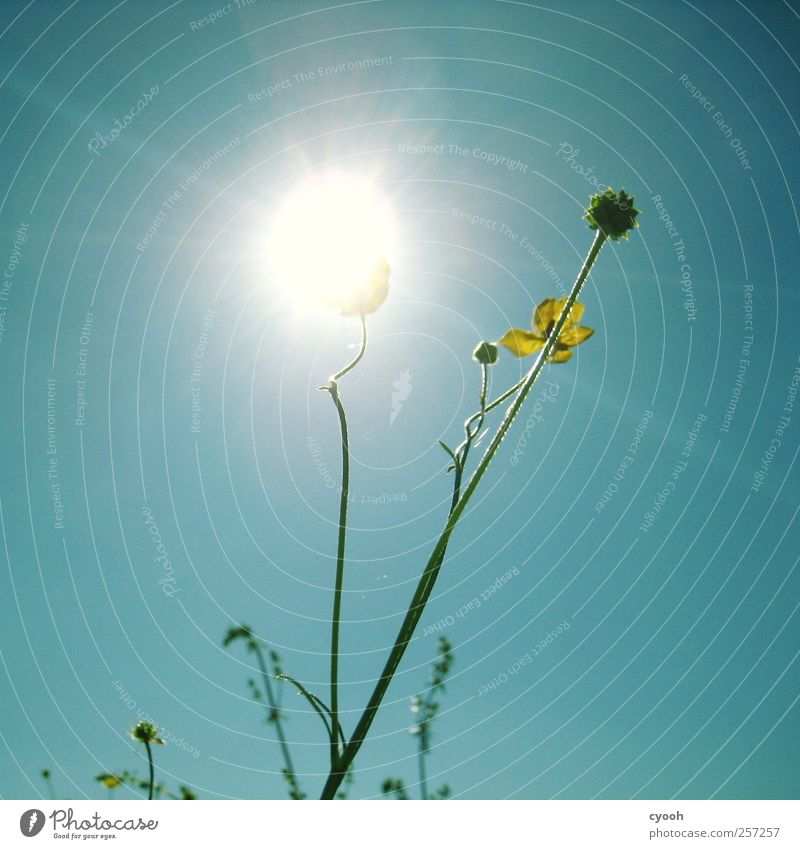 Sunflower ;-) Nature Plant Air Sky Cloudless sky Sunlight Spring Summer Beautiful weather Flower Blossom Bright Flashy Illuminate Electricity Solar Power Lamp