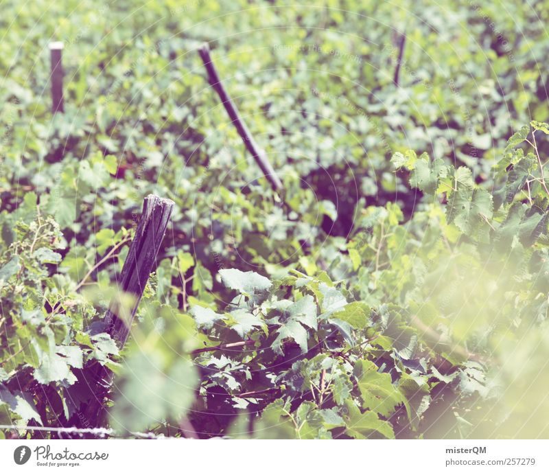 Vine festival. Environment Landscape Plant Climate Beautiful weather Esthetic Vineyard Bunch of grapes Grape harvest Wine growing Winery Slope Agriculture