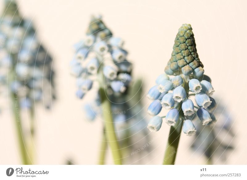 Spring will come! Environment Nature Plant Flower Blossom Wild plant Pot plant Muscari Garden Park Blossoming Fragrance Faded To dry up Growth Esthetic