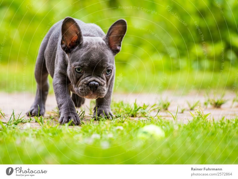 """a young French Bulldog Meadow Animal Pet Dog """"French Bulldog family dog Puppy"""" 1 Observe Playing Fresh Healthy Sympathy Love of animals Colour photo"""