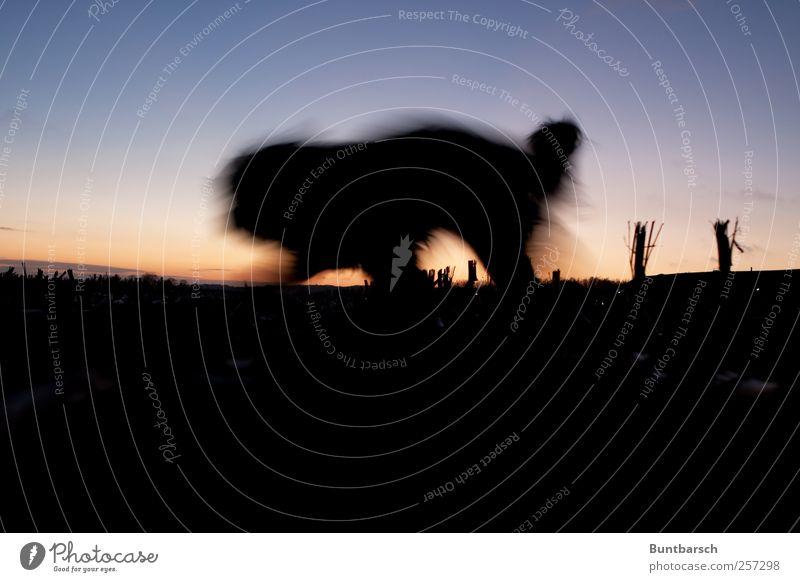 Dog Animal Black Dark Movement Field Walking Running Threat Pelt Pet Farm animal Shadow play Creep Maize field