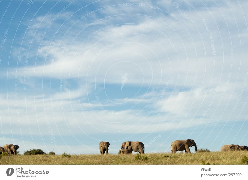 Sky Vacation & Travel Animal Far-off places Environment Freedom Grass Horizon Together Power Large Wild animal Stand Group of animals Infinity Africa