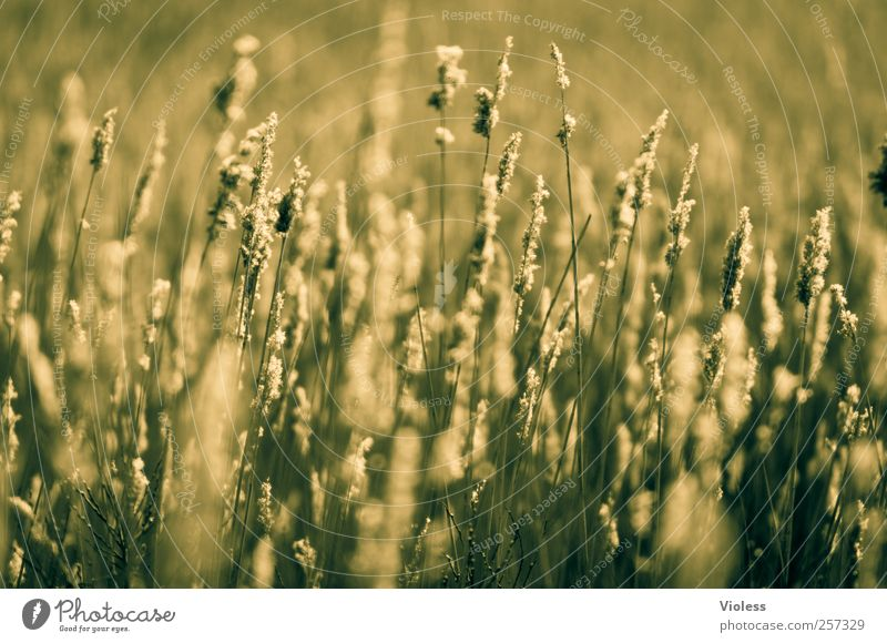 Spiekeroog. Green grasses. Nature Plant Grass Serene Calm Colour photo Exterior shot Deserted Copy Space bottom Blur