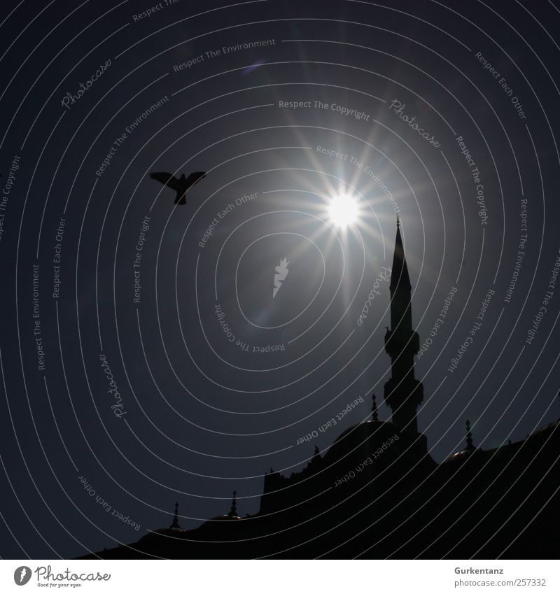 Praying dove Bird Pigeon 1 Animal Belief Humble Istanbul Turkey Islam Minaret Mosque Galata Bridge Religion and faith Sunlight Tower Moslem Silhouette