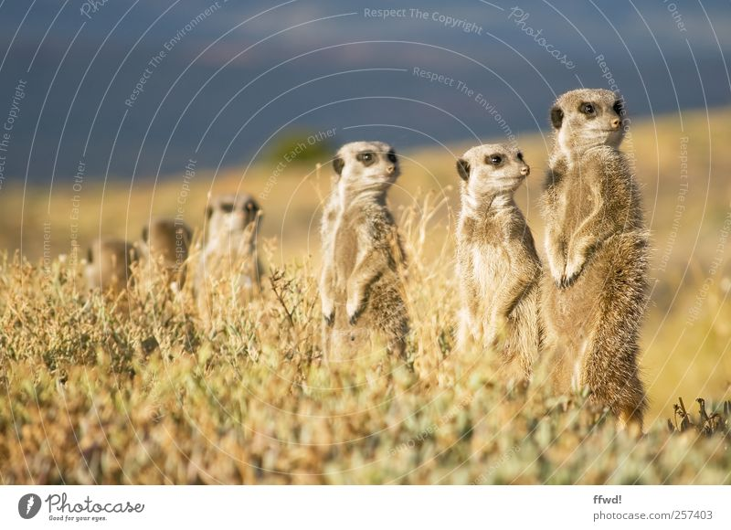 security guard Safari Expedition Nature Landscape Plant Animal Grass Wild animal Meerkat Group of animals Pack Animal family Observe Discover Looking Curiosity