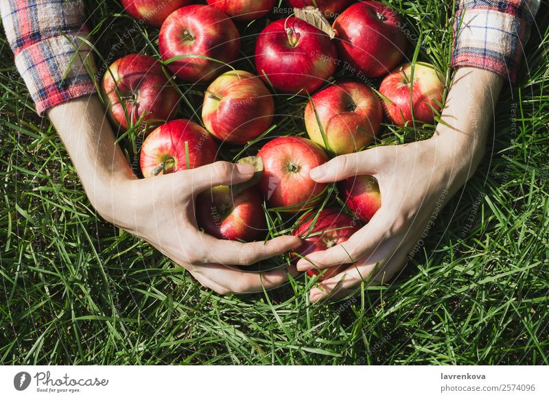 Flatlay of woman's hands holding red ripe organic apples Autumn Pick Harvest Apple flat lay Checkered Diet Farm Plant Mature Grass Hand Fruit Garden Fresh
