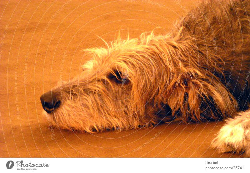 The day is long ... Dog Loyalty Snout Pelt Grief Orange Looking Sadness Irish Wolfhound