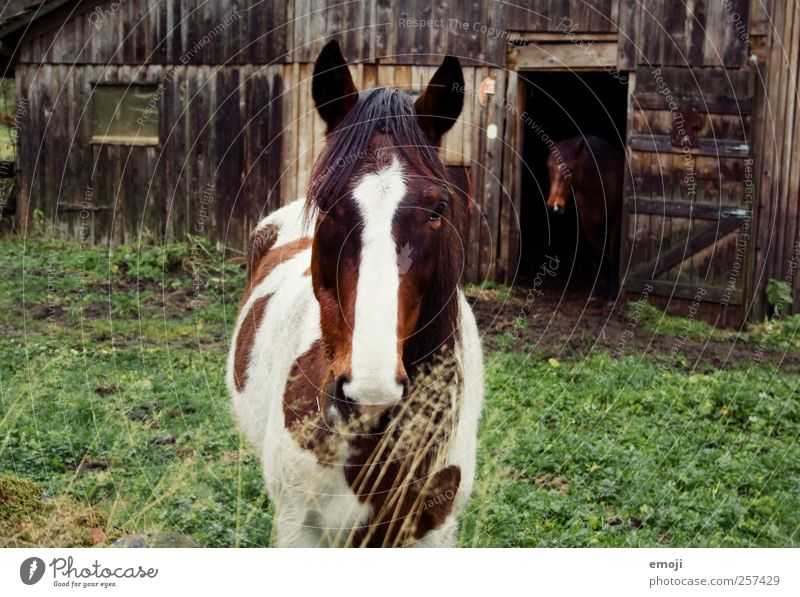 Alone in twos Farm animal Horse 2 Animal Pair of animals Natural Hut Barn Colour photo Exterior shot Day Animal portrait Front view Looking