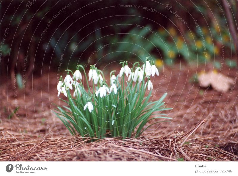 Tenderness in wieß Snowdrop Flower Spring flower Delicate White Far-off places Blur tele