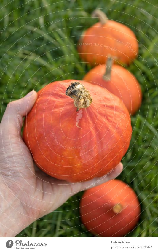 Fresh pumpkins Food Vegetable Organic produce Healthy Healthy Eating Agriculture Forestry Man Adults Hand Fingers Garden Field Work and employment Select