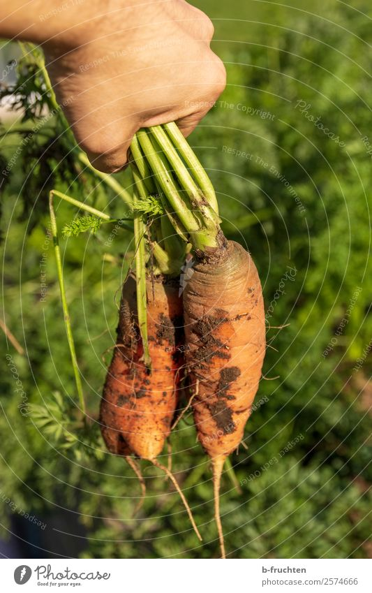 pull carrots out of the ground Food Vegetable Organic produce Vegetarian diet Healthy Eating Garden Gardening Agriculture Forestry Hand Fingers Plant