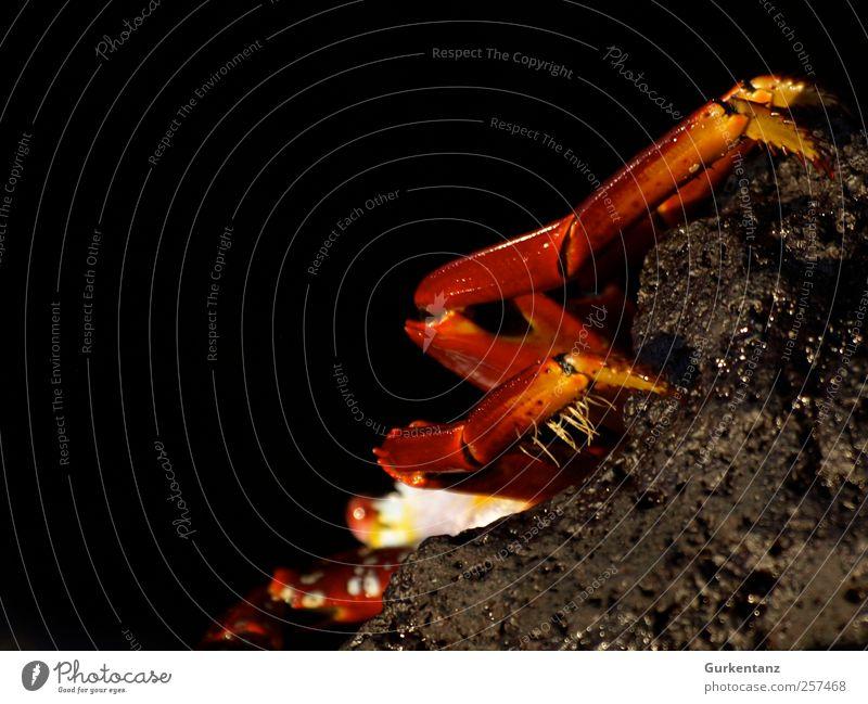 Kathrin crab Beach Animal 1 Crawl Looking Thorny Red Shrimp Cancer Sally Lightfoot Galapagos islands Baltra Santa Cruz Reptiles Curiosity Skeptical Hide