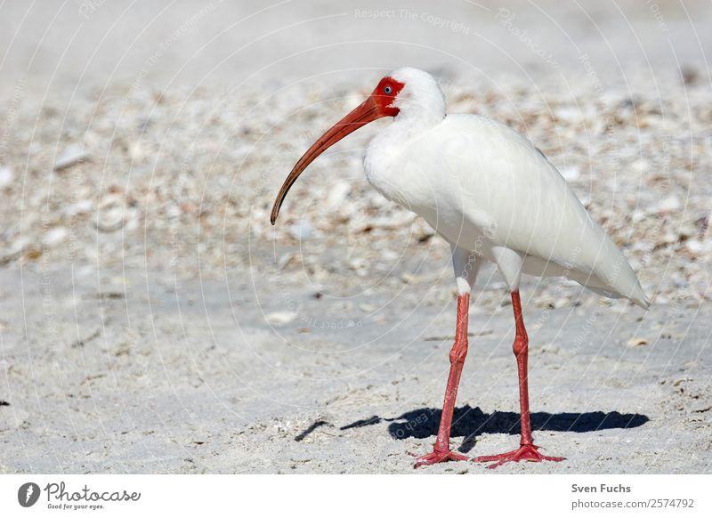 American white ibis (Eudocimus albus) Beautiful Beach Ocean Nature Animal Water Spring Summer Lake Wild animal Bird 1 Esthetic Elegant Red Black White Ibis